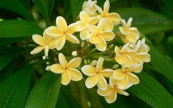 Earth - Frangipani Wallpapers and Backgrounds ID : 430183