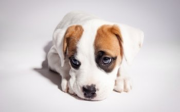 Animal - Puppy Wallpapers and Backgrounds ID : 430240