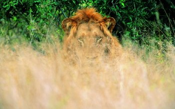 Animal - Lion Wallpapers and Backgrounds ID : 430710