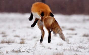 Animal - Fox Wallpapers and Backgrounds ID : 430786