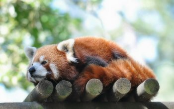 Animal - Red Panda Wallpapers and Backgrounds ID : 430969