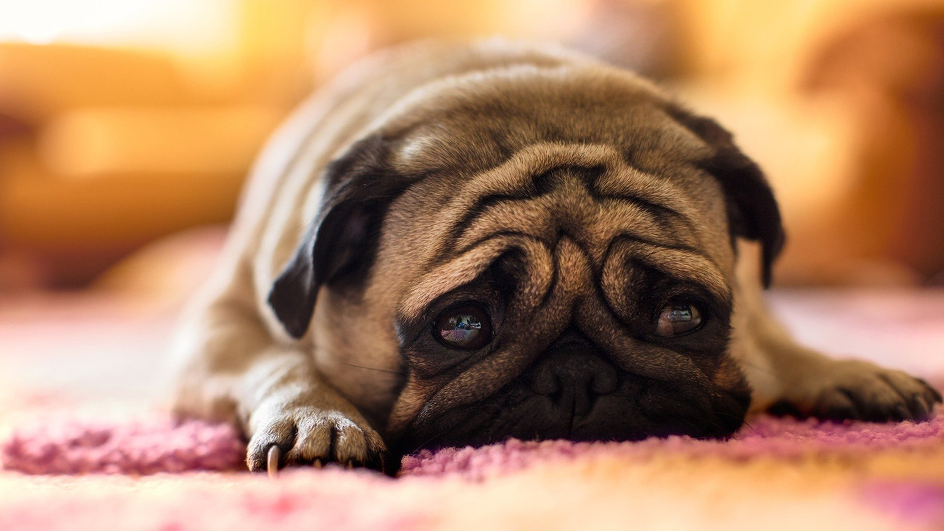 79 pug hd wallpapers | background images - wallpaper abyss