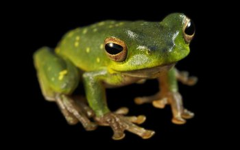 Animal - Tree Frog Wallpapers and Backgrounds ID : 431149