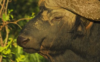 Animal - Buffalo Wallpapers and Backgrounds ID : 433643