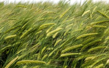Earth - Wheat Wallpapers and Backgrounds ID : 434566