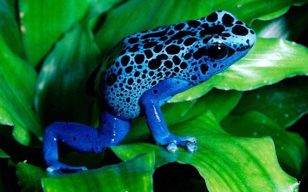 Animal Poison dart frog Frogs Frog Blue Poison Dart Frog HD Wallpaper | Background Image