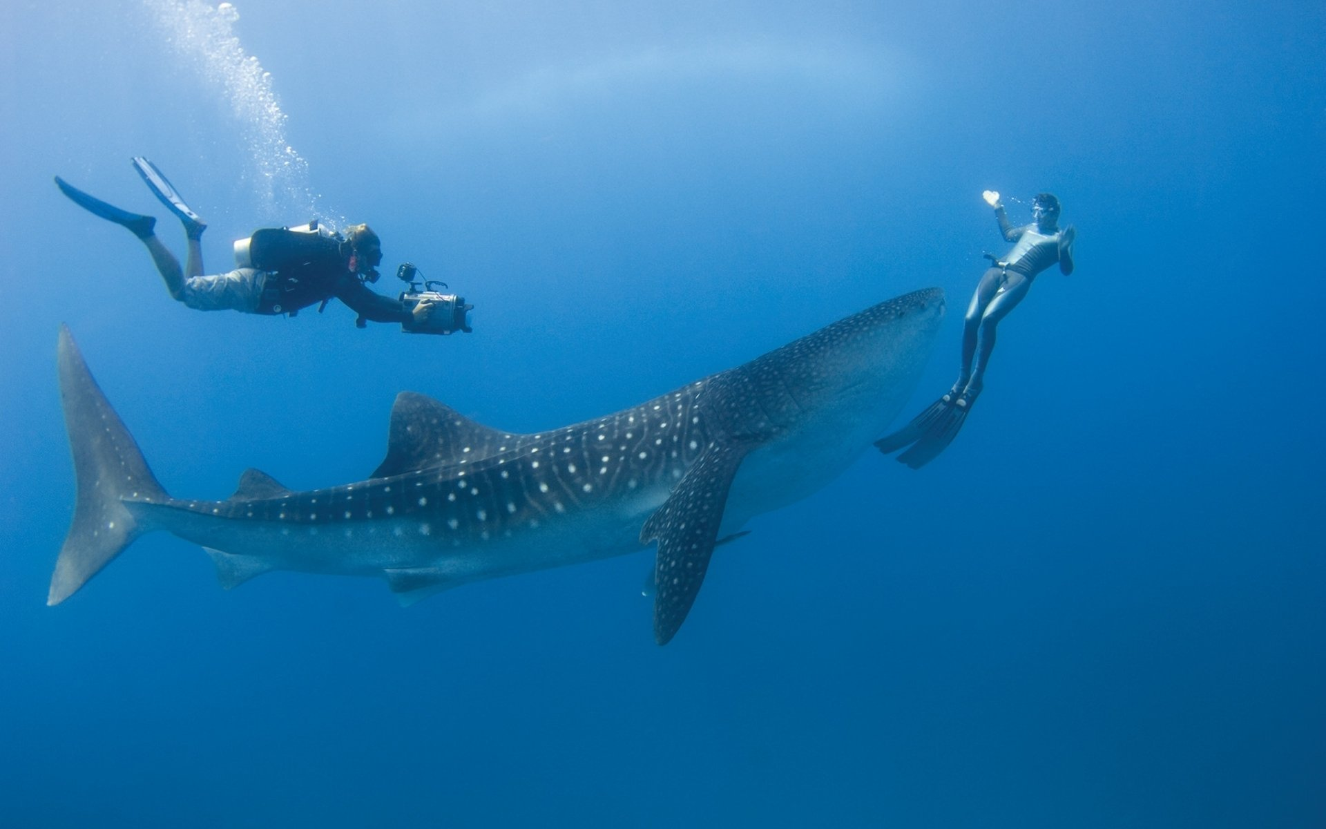 Whale Shark Full HD Wallpaper and Background Image ...