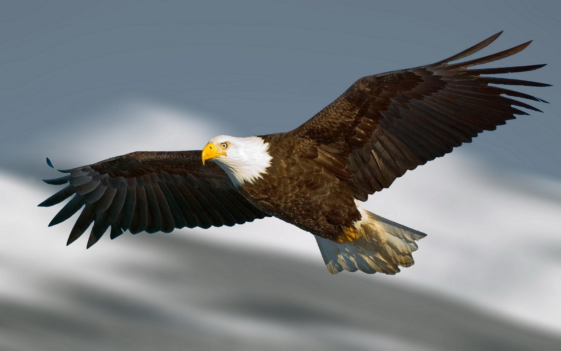 Hd Rajewall: Weißkopfseeadler Full HD Wallpaper And Hintergrund