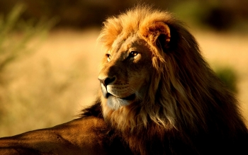 Animal - Lion Wallpapers and Backgrounds ID : 436547