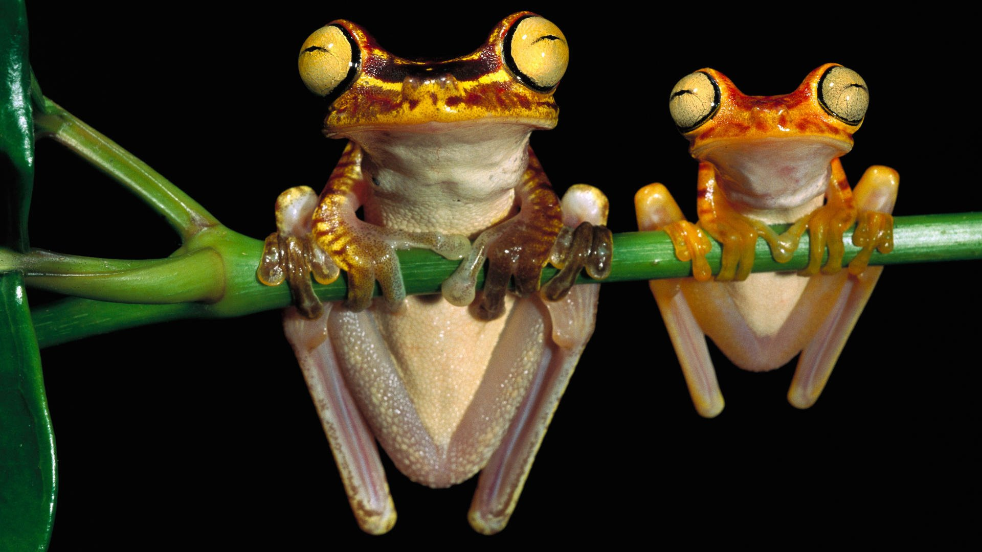 85 Tree Frog HD Wallpapers   Backgrounds - Wallpaper Abyss