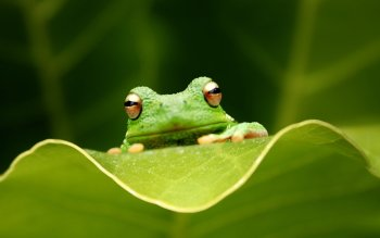 Animal - Tree Frog Wallpapers and Backgrounds ID : 437070