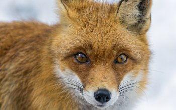 Animal - Fox Wallpapers and Backgrounds ID : 437095