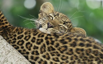 Animalia - Leopard Wallpapers and Backgrounds ID : 437429