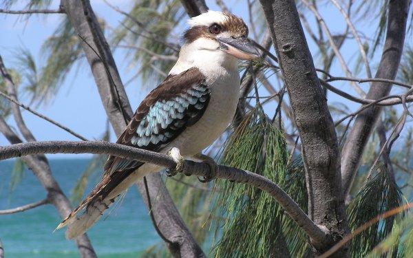 Animal Kookaburra Birds Kingfishers HD Wallpaper   Background Image