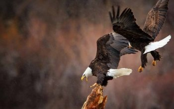 Animal - Eagle Wallpapers and Backgrounds ID : 438474