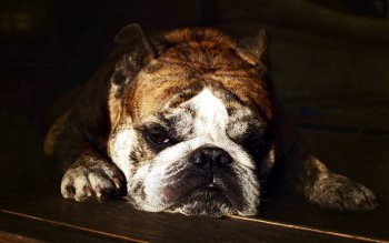 Dierenrijk - Bulldog Wallpapers and Backgrounds ID : 438511