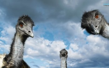 Animal - Emu Wallpapers and Backgrounds ID : 439594
