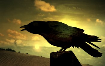 Animal - Crow Wallpapers and Backgrounds ID : 439811