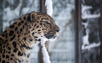 Animalia - Leopard Wallpapers and Backgrounds ID : 439950