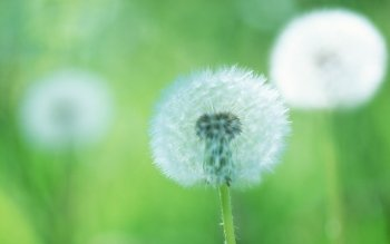 Earth - Dandelion Wallpapers and Backgrounds ID : 440158