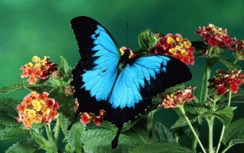 Animal - Ulysses Butterfly Wallpapers and Backgrounds ID : 440589