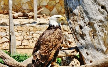 Animal - Eagle Wallpapers and Backgrounds ID : 440790