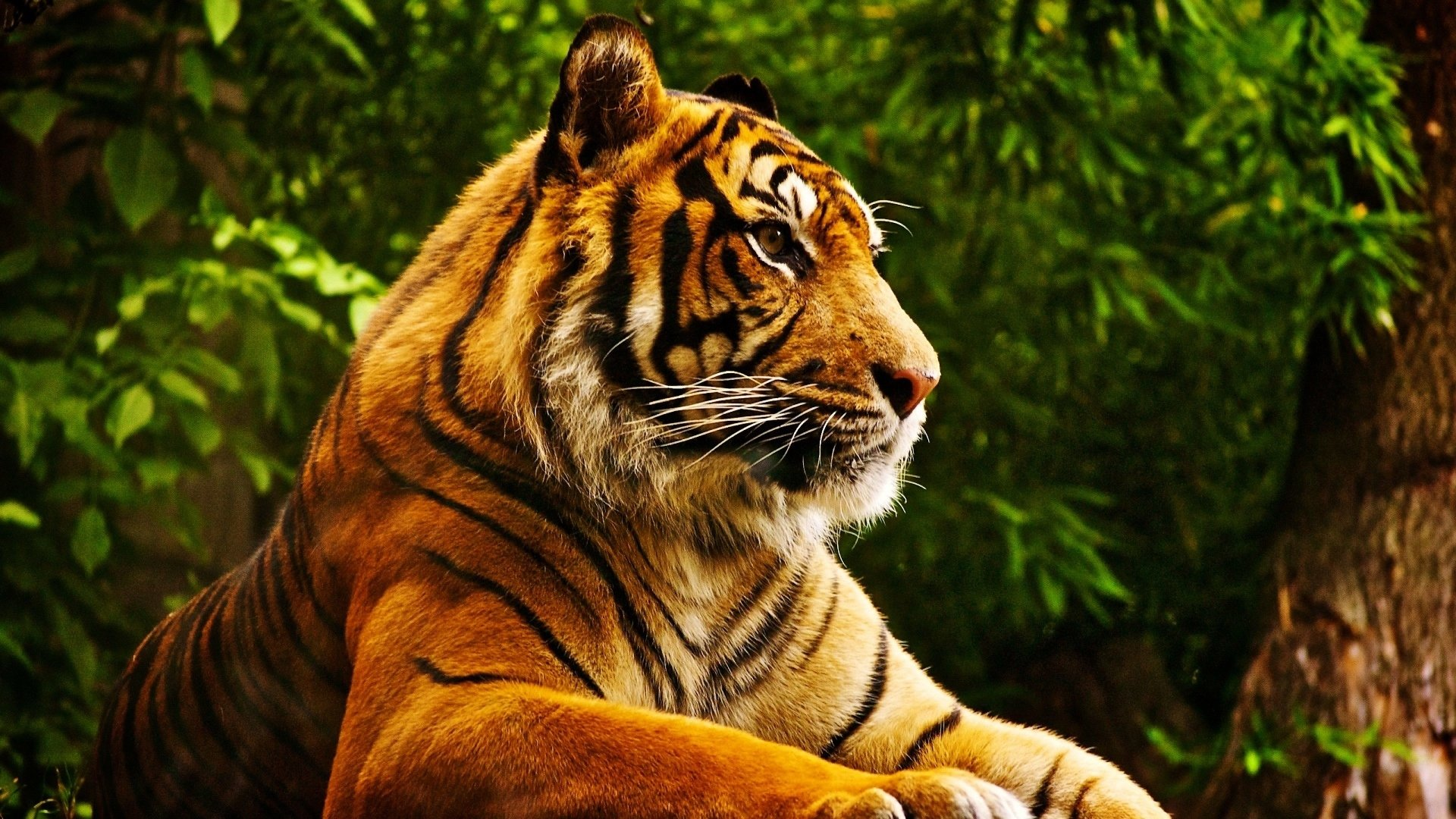 264 4k Ultra Hd Tiger Wallpapers Background Images Wallpaper Abyss