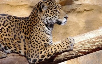 Animalia - Jaguar Wallpapers and Backgrounds ID : 441630