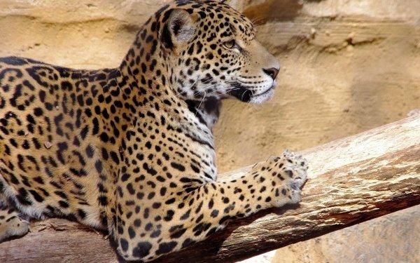 Animal Jaguar Cats Big Cat HD Wallpaper | Background Image