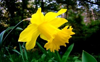 Earth - Daffodil Wallpapers and Backgrounds ID : 442285