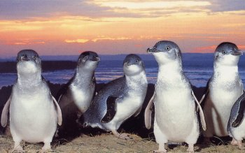 Animal - Fairy Penguin Wallpapers and Backgrounds ID : 442492