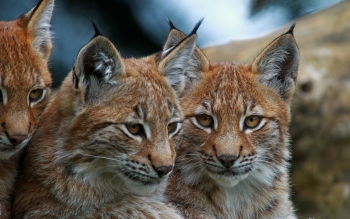 Djur - Lynx Wallpapers and Backgrounds ID : 442642