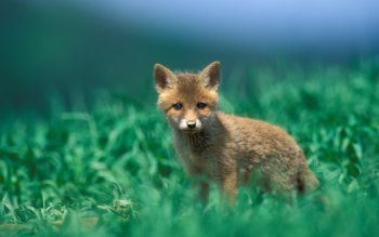 Animal - Fox Wallpapers and Backgrounds ID : 442867