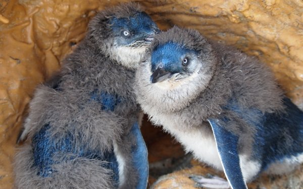 Animal Fairy Penguin Birds Penguins Penguin HD Wallpaper | Background Image