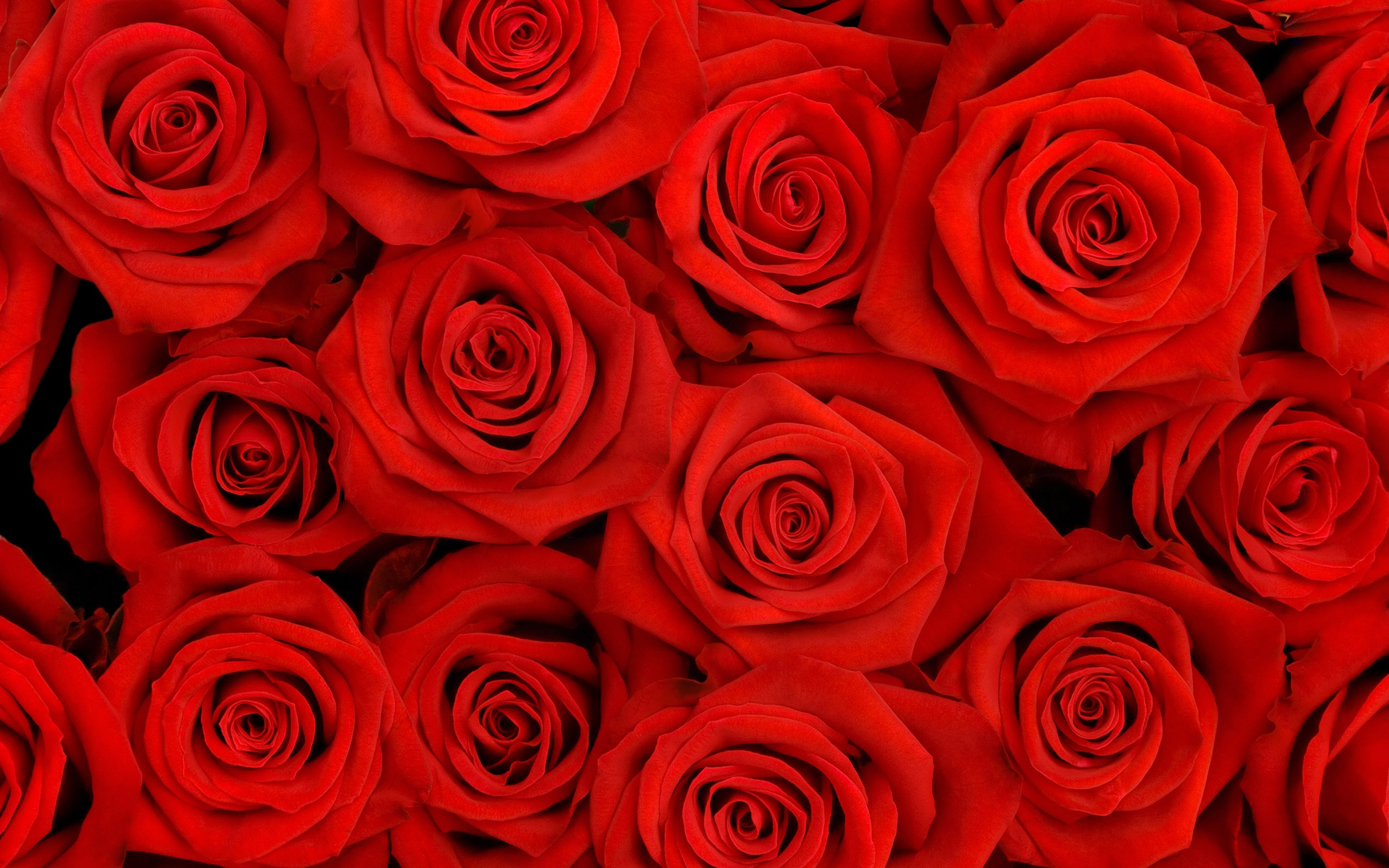 red roses full hd wallpaper and background image | 2560x1600 | id:443046