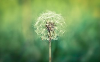 Earth - Dandelion Wallpapers and Backgrounds ID : 443253