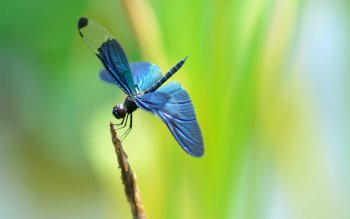Animal - Dragonfly Wallpapers and Backgrounds ID : 443260