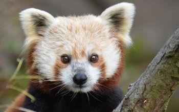Animal - Red Panda Wallpapers and Backgrounds ID : 443866