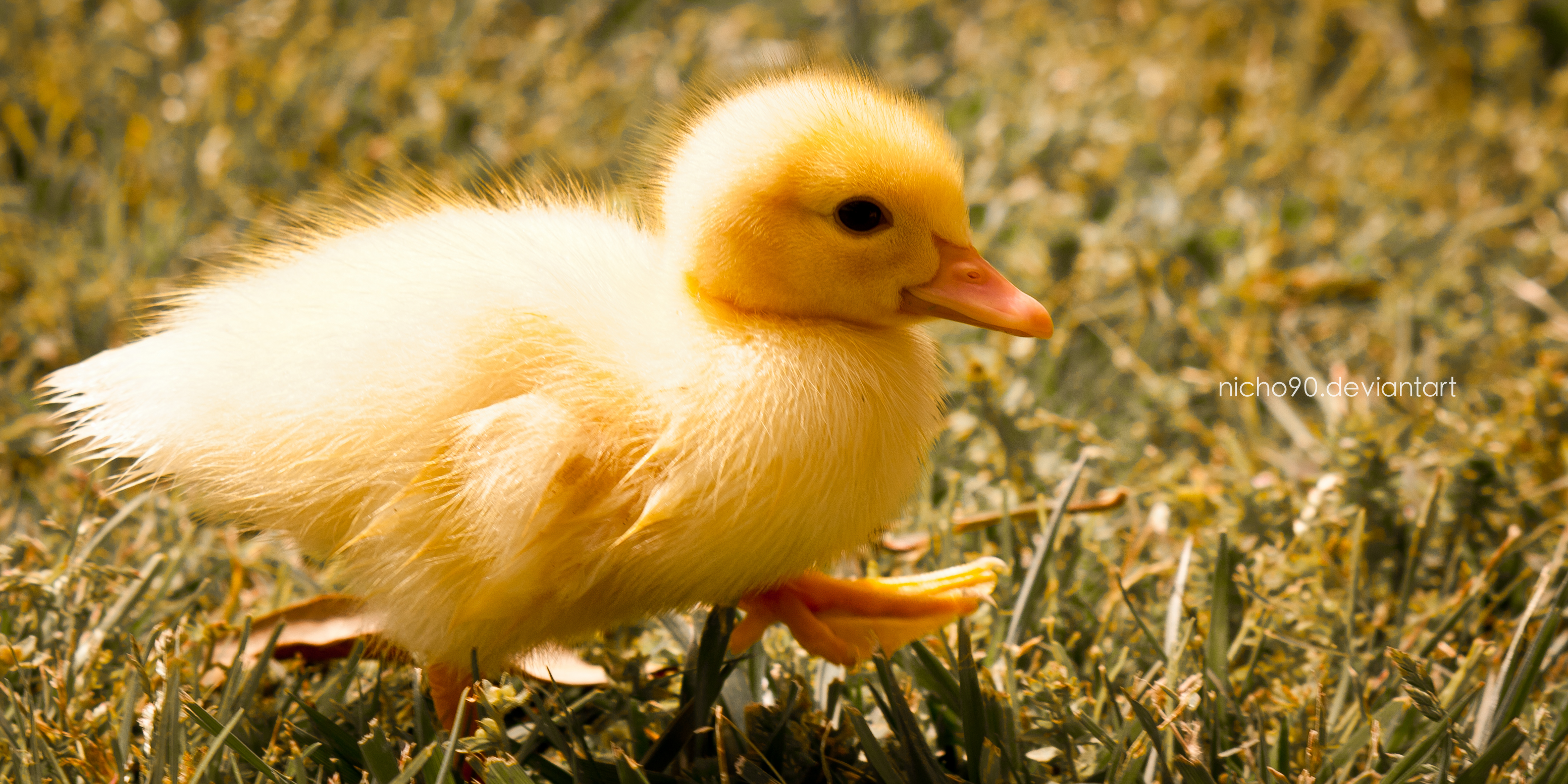 yellow baby ducks walking - photo #12