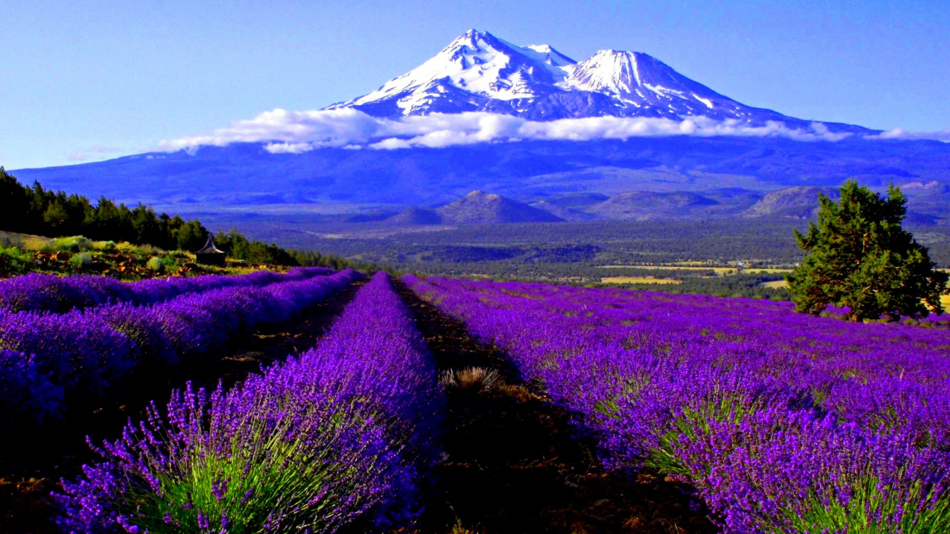 Earth - Mountain  - Lavender Fields Wallpaper