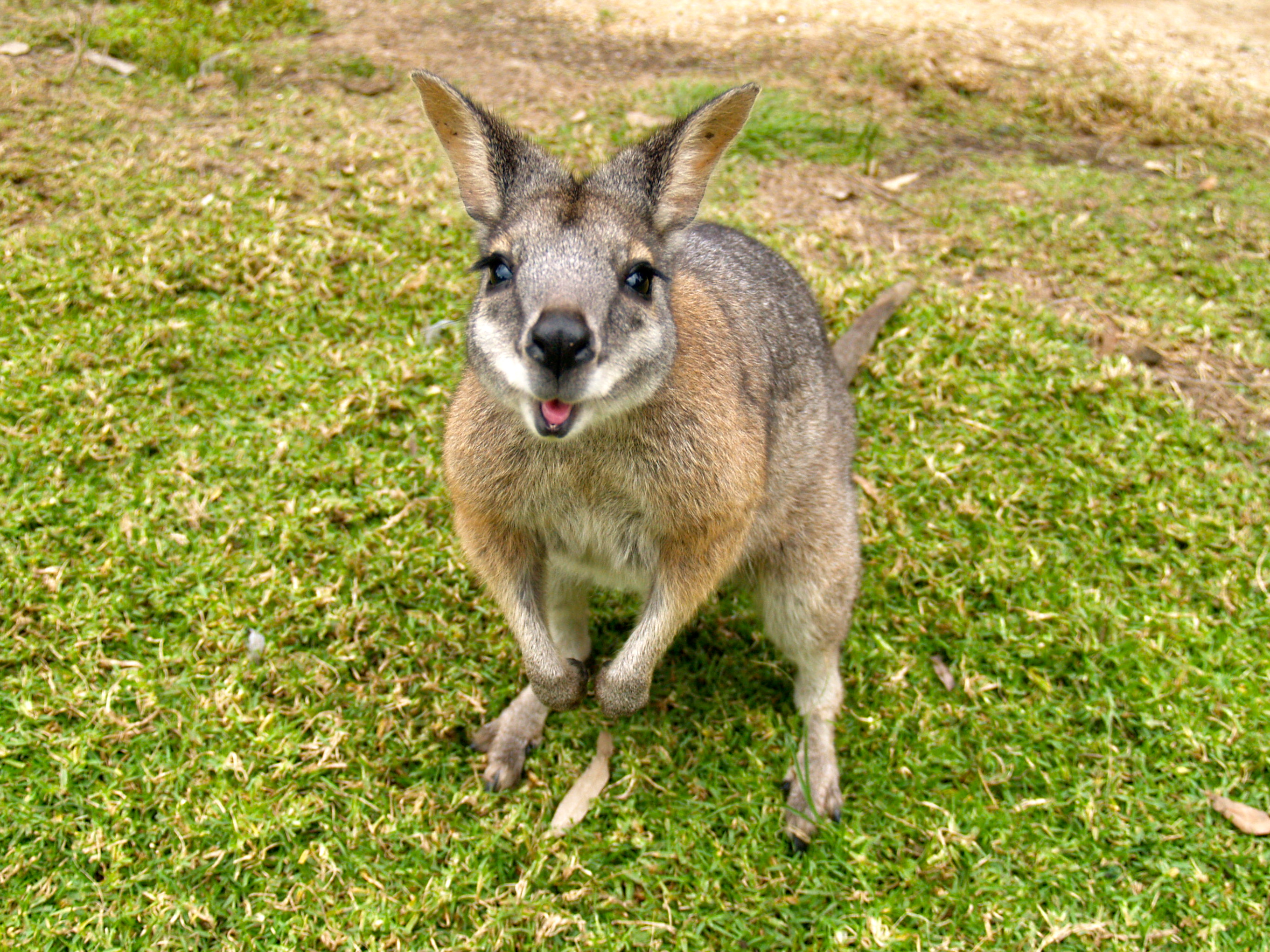 8 wallaby hd wallpapers backgrounds   wallpaper abyss
