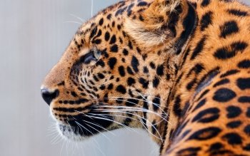 Animalia - Leopard Wallpapers and Backgrounds ID : 447043
