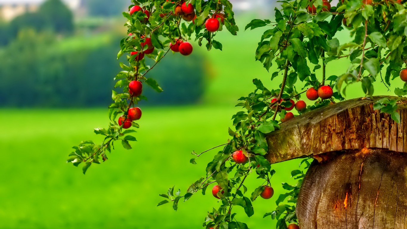 The red berry tree wallpaper and background image for Tree wallpaper for walls
