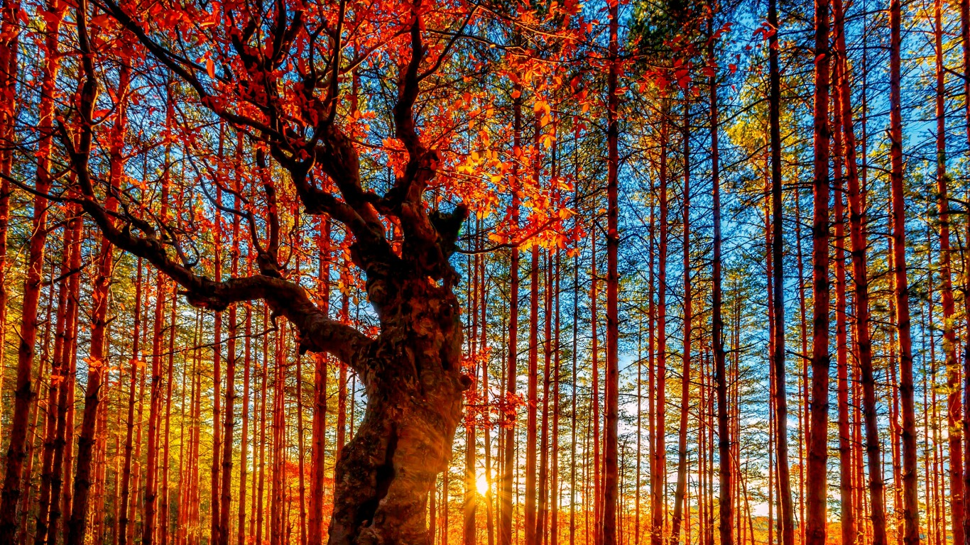 autumn tree wallpaper and background image | 1366x768 | id:448943