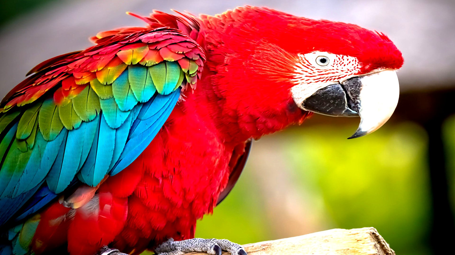 Red-and-green Macaw Full HD Wallpaper and Background ...