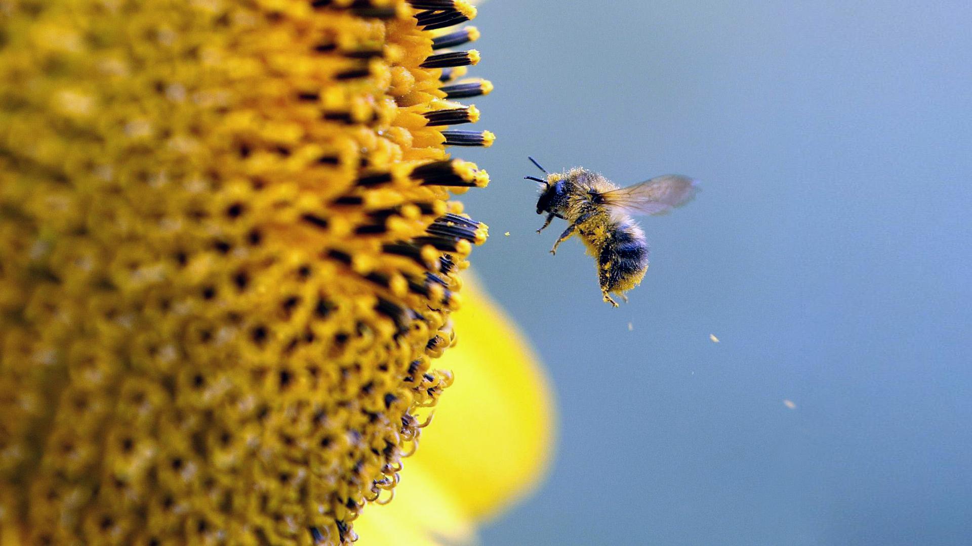 Bee Hd Wallpaper Background Image 1920x1080 Id