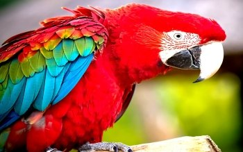 Animalia - Macaw Wallpapers and Backgrounds ID : 449418