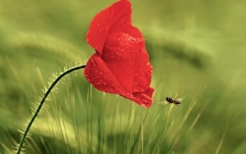 Earth - Poppy Wallpapers and Backgrounds ID : 450989