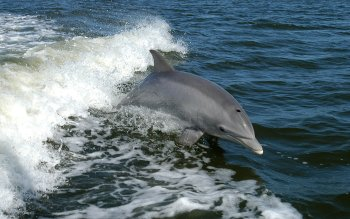 Animal - Dolphin Wallpapers and Backgrounds ID : 451293
