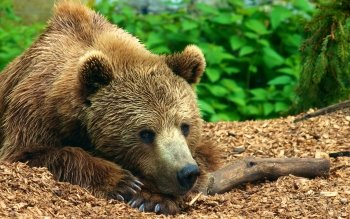 Animal - Bear Wallpapers and Backgrounds ID : 452274